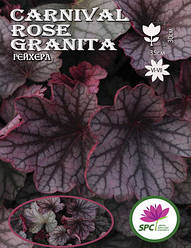 Гейхера Carnival Rose Granita