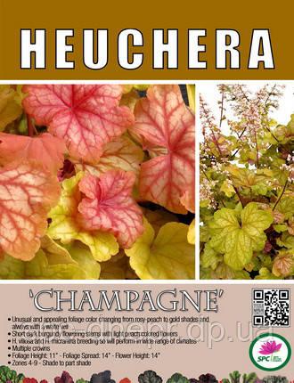 Гейхера Champagne, фото 2
