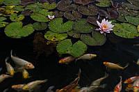 Водные растения, нимфеи, лотос