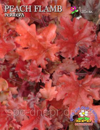 Гейхера Peach Flambe, фото 2
