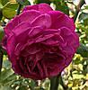 Роза Янг Лисидас. Английская роза.