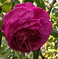 Роза Янг Лисидас. Английская роза., фото 1