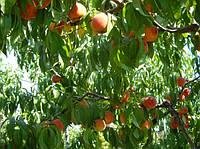 Персик Вавиловский, Vavilovsky саженцы на подвое абрикос