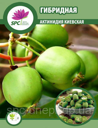 Актинидия Киевская Гибридная, фото 2