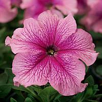 Tritunia Pink Veined