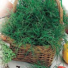 Насіння кропу Салют на вагу від виробника