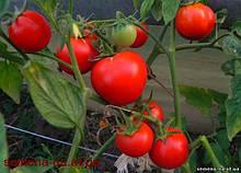 Семена томата Яна супер ранний (производитель)
