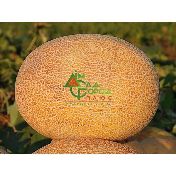 Продам  семена дыни Алушта оптом в Одессе