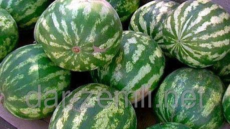 Семена арбуза Ярило (  от производителя)