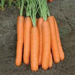 Семена моркови Монтана