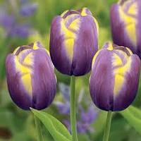 ТЮЛЬПАН Тюльпан Arabian Beauty Нідерланди розмір 12+ (3 шт в упаковці), фото 1