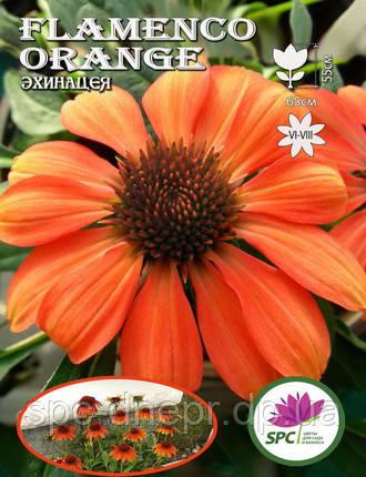 Эхинацея Flamenco Orange