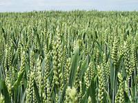 Озимая пшеница Колониа (Colonia)