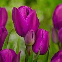 Тюльпан багатоквітковий Purple Bouquet  Нідерланди розмір 12+ (3 шт в упаковці), фото 1