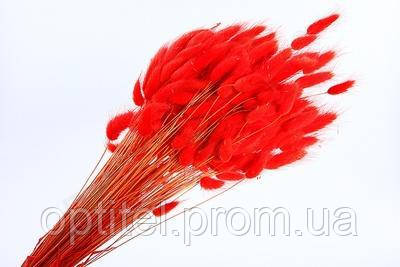Лагурус (зайцехвост) красный