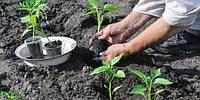 Культивирование помидор в защищенном грунте