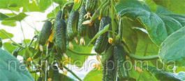 Семена огурца Эколь F1 500 семян Syngenta