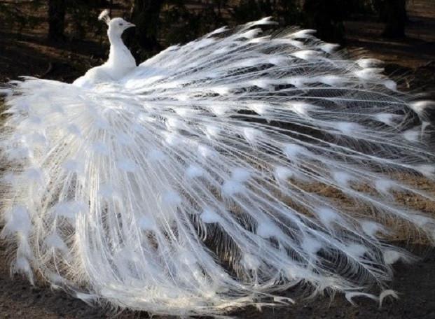 Алмазная вышивка Белый павлин 119