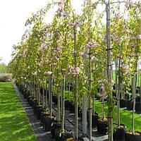 Сакура мелкопильчатая 'Kiku-shidare-zakura', Prunus serrula 'Kiku-shidare-zakura'