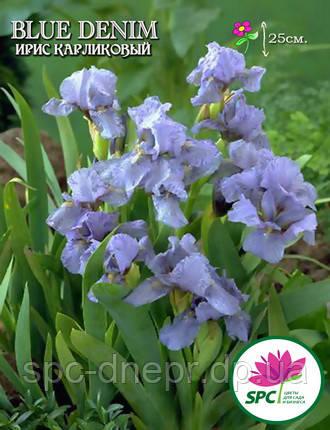Ирис карликовый Blue Denim, фото 2