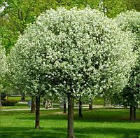 Вишня кустарниковая  'Umbraculifera' (шаровидная), Prunus cerasus 'Umbraculifera'