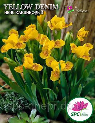 Ирис карликовый Yellow Denim