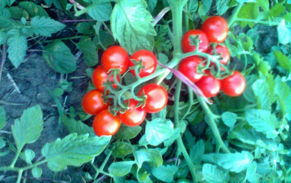 Семена томата Топкапи F1 1000 семян Vilmorin