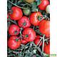 Семена томата Ольга F1 1000 семян Vilmorin , фото 2