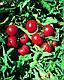 Семена томата Ольга F1 1000 семян Vilmorin , фото 3