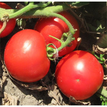 Семена томата Волна F1 1000 семян Vilmorin