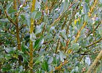 Ива тонкопобеговая 'Melanostachys', Salix gracilistyla 'Melanostachys'