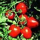 Семена томата Сурия F1 1000 семян Vilmorin, фото 3