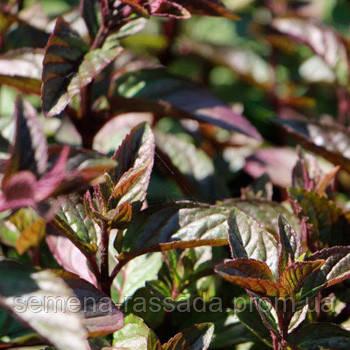 Мята шоколадная саженец - Магазин растений - саженцы, рассада, семена. Любимый Сад в Мелитополе