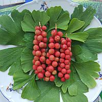 5 листьев дерева Гинкго Билоба  - это необходимая дневная норма для человека, чтобы быть здоровым и бодрым.