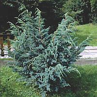 Можжевельник чешуйчатый 'Meyeri Compacta', Juniperus squamata 'Meyeri Compacta'