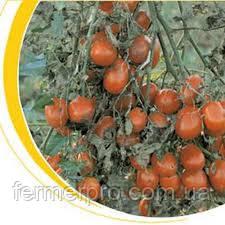 Семена томата Таша F1 1000 семян  Hazera Genetics