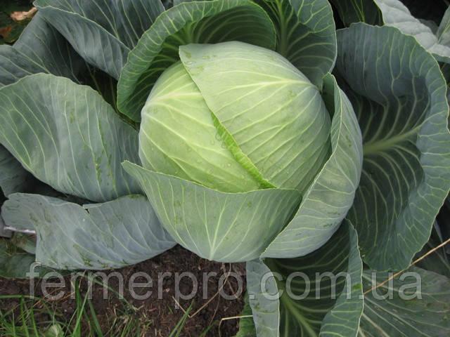 Семена капусты Структон F1 2500 Калиброванных семян Hazera