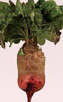 Семена свеклы столовой Свекла Эккендорфская кормовая красная 5 г  (Плазменные семена)