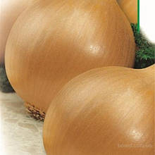 Семена лука  Глобус  (крупный опт от 1т. -170грн)
