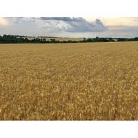 Озимая пшеница Венок Подилля (элита)