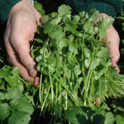 Семена кориандра Карибе (50 г)