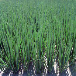 Семена Лук на перо Параде (10 000 сем.)