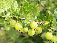 Агрус Хіннонмакі Грін (Hinnonmaki Green), фото 1