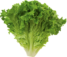 Купити насіння салату ,щавлю від виробника,кращі сорти для відкритого грунту.