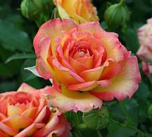Троянда мініатюрна Сонья