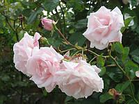 Роза плетистая Нью Даун (New Dawn)