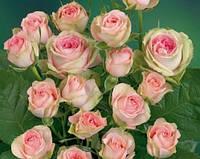 Роза спрей бело-розовая