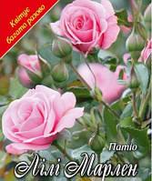 Роза патио Лили Марлен (Lili Marlenе)