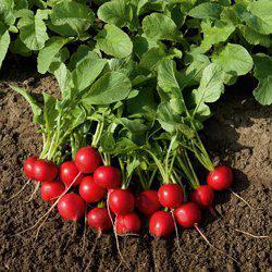 Семена редиса Рудольф (50 г)