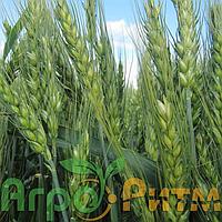 Озима пшениця Шестопалівка 1-а репродукція